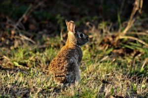 Wild rabbit at the edge of the woods